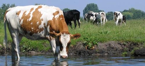 koeien in sloot 10-06-2006